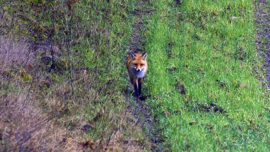 Fuchs (Canis vulpes)